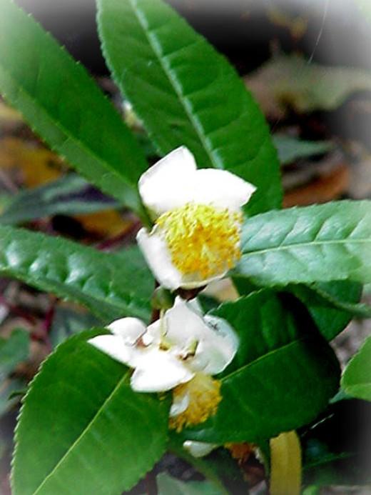 The Tea Plant - Camellia Sinensis