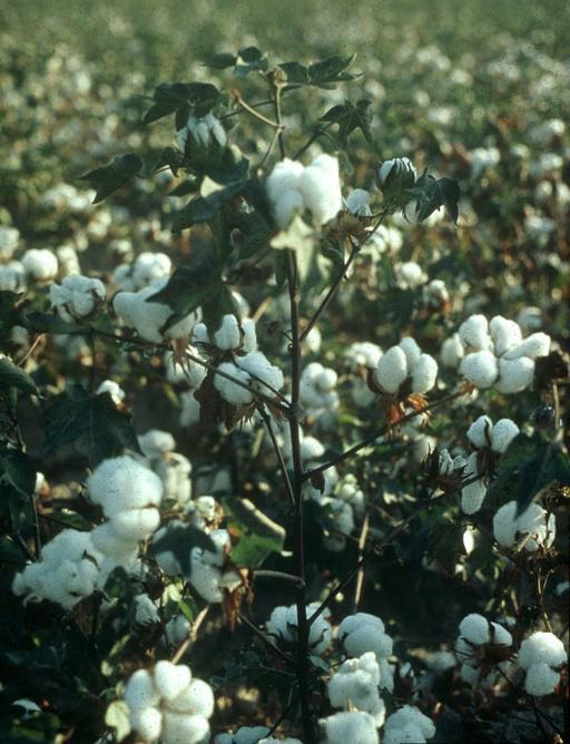 The Cotton Plant