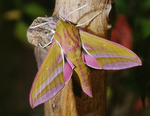 Deilephila elpenor photographed in Calvados in France. Photo by Jean Pierre Hamon