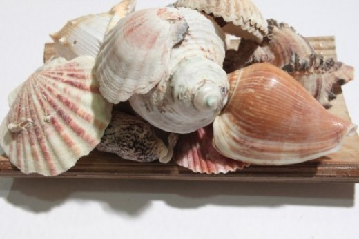 Finding seashells can be both fun and lucrative