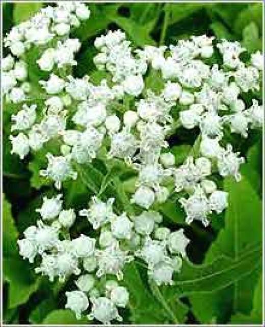 The Cinchona Plant