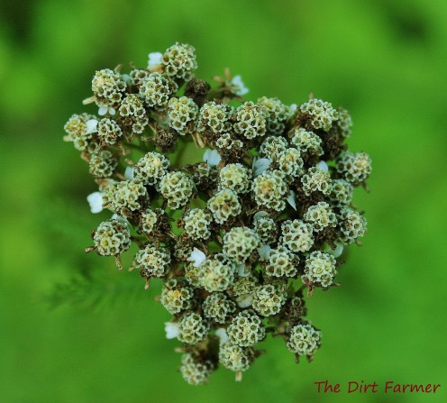 Storing seed collected from the drying flower heads of plants like common yarrow is a relatively simple process.