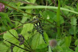 Dragonfly at Salthill Quarry Nature Reserve