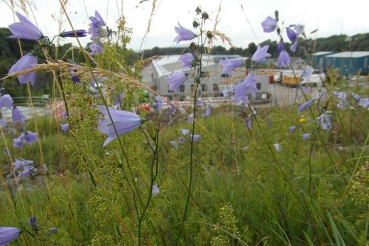 Harebells at Salthill Quarry