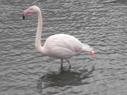 Flamingo at Marten Mere