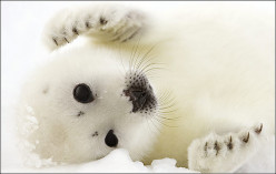 Baby Seal Clubbing: One Canadian Outraged, Angry, Saddened, and Ashamed