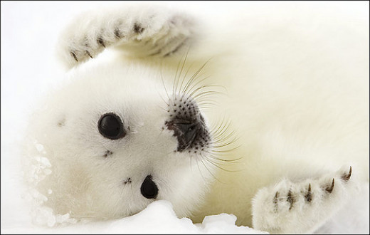 Adorable baby Harp seal