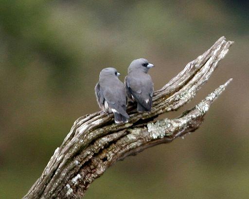 Ashy wood swallows