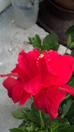Growing Hibiscus: Eye Candy for Your Yard---A Photo Journal