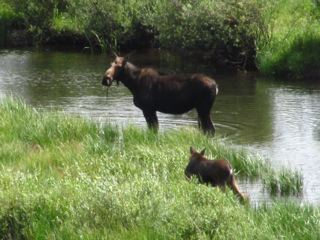 This cow moose and calf would feed in the early morning and late afternoon on a stretch of Ranch Creek in Grand County, Colorado