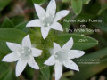 Flower Haiku Poems about Tiny White Flowers In Lawn