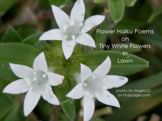 Flower Haiku Poems About Tiny White Flowers In Lawn Hubpages