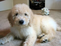 How can I find a reputable dog breeder?