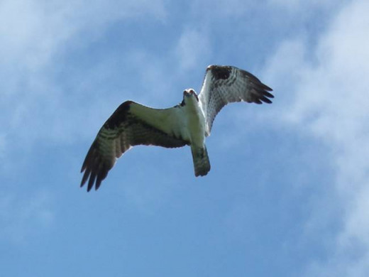 The Osprey in Flight