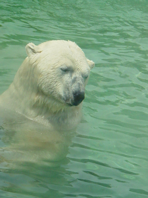 Polar Bear at Toronto Zoo