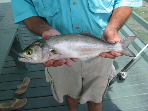 Another saltwater fish, the bluefish, is often high in methylmercury.