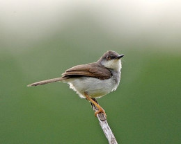 Grey breasted prinia