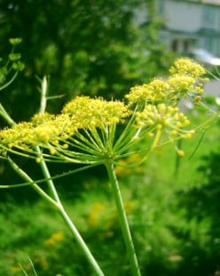 Eat the weeds and forage for herbs like Fennel