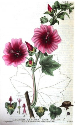 Tree Mallow detail, from British Phaenogamous Botany, 1835.