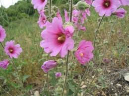 Hollyhock (Alcea setosa)