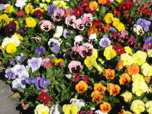 A mass planting of garden pansy flowers.