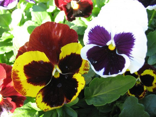 Healthy pansy plants in flower.
