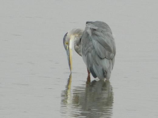 Great Blue Heron Misses