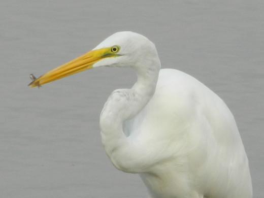 Great Egret Got a Fish!