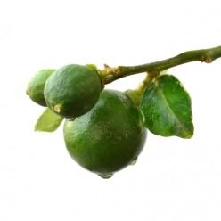 5 Steps to Grow a Lemon Tree!