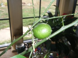 We grow a lemon tree indoors and it does very well.  It's currently bearing about five fruit!