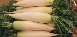 Daikon radishes make a great winter garden crop. Cut off the greens to store them in a cool place. Cut off the root only when preparing them.