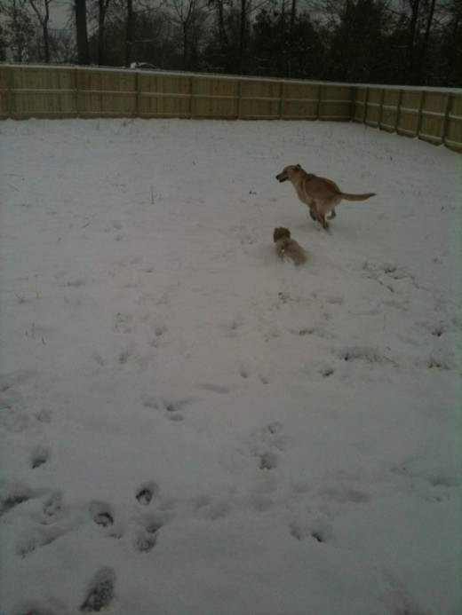 Chloe and Ginger playing in the snow