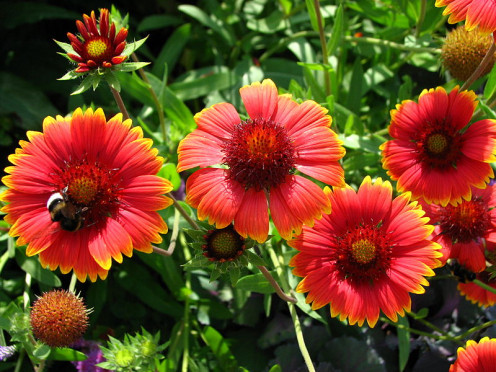 Indian Blanket Flowers; Gaillardia pulchella