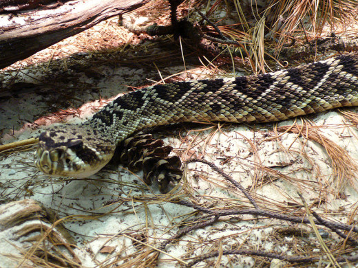 Eastern diamondback rattlesnake. By TimVickers (Own work) [Public domain], via Wikimedia Commons