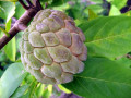 Sweetsop or Sugar Apple Trees - Its Uses and Health Benefits