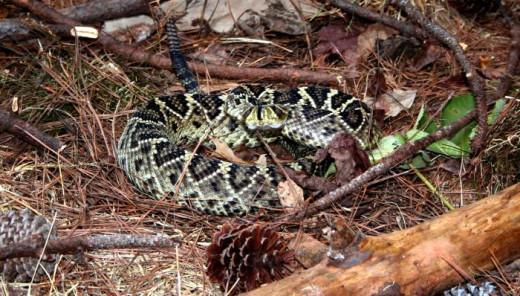 Eastern diamondback rattlesnake.  Photo by Edward J. Wozniak, 2005. Public Domain.