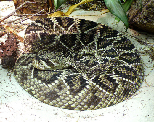 Eastern diamondback rattlesnake. By TimVickers, Public domain.