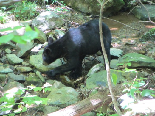 A Black Bear near the Dark Hollow Falls Trail