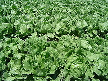 A field of iceburg lettuce.  The opposite of what my garden looked like.