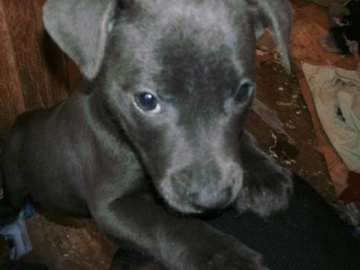 Sapphire, a pit bull mix pup