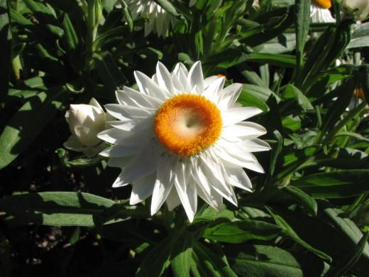 White Everlasting Daisy Cultivar.
