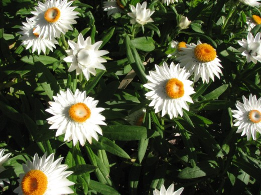Patch of white Paper Daisies.