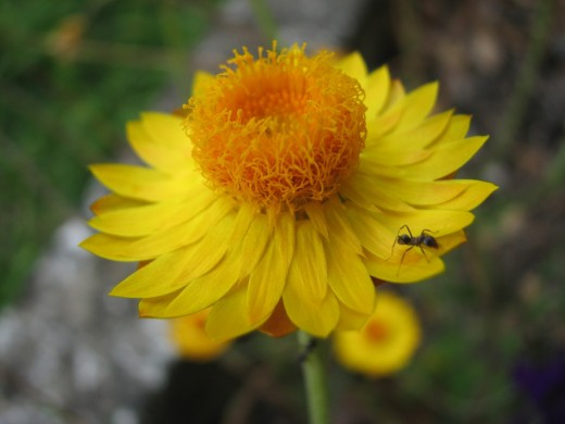 Ant visiting wild type yellow Everlasting Daisy flower.