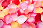 Fresh rose petals in pinks