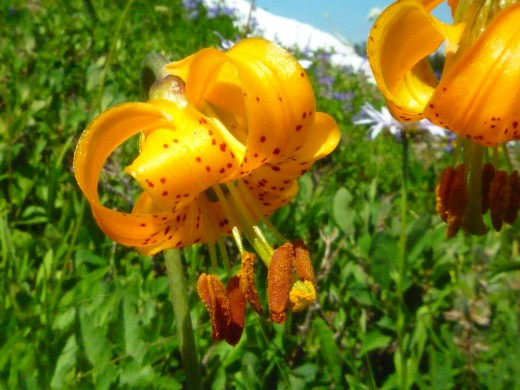 A tiger lily in full bloom
