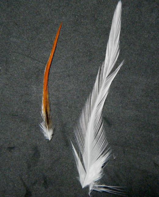 A neck hackle feather (left) and saddle hackle (right).  Notice how the neck hackle has dense barbs, while the saddle is less so.
