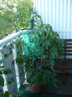Has anyone had success at growing tomatoes in doors in the winter?