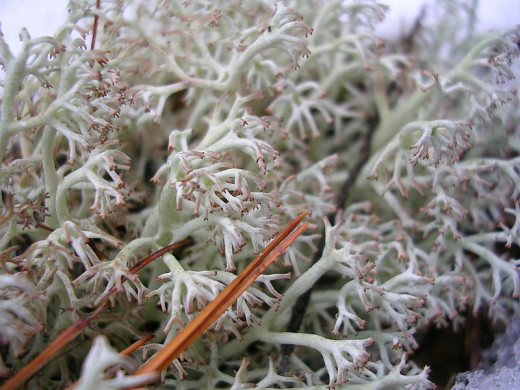 Unknown species of Reindeer lichen found in Rindge, NH.