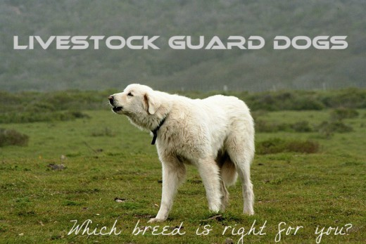 One of the many breeds of livestock guard dogs on the job.