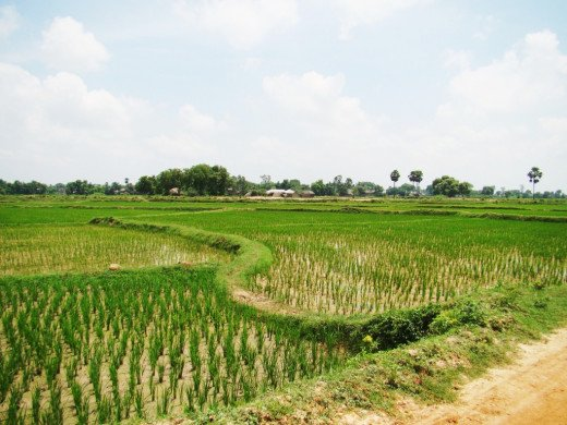 Paddy fields surrounding the village